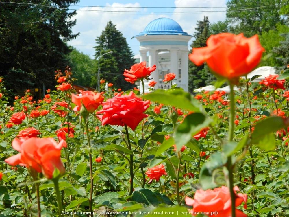 03. Волжский — розы в парке. Июнь 2015.