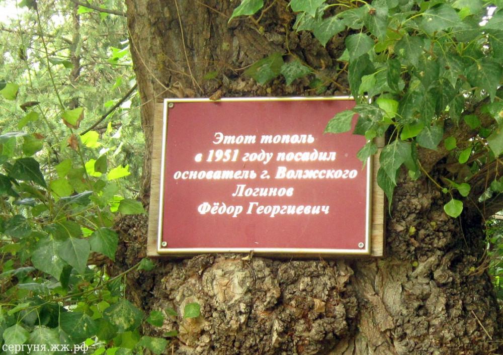 Волжский, парк Гидростроитель, тополь Логинова