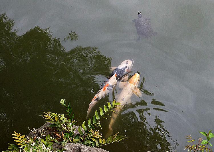 карпы_и_черепахи