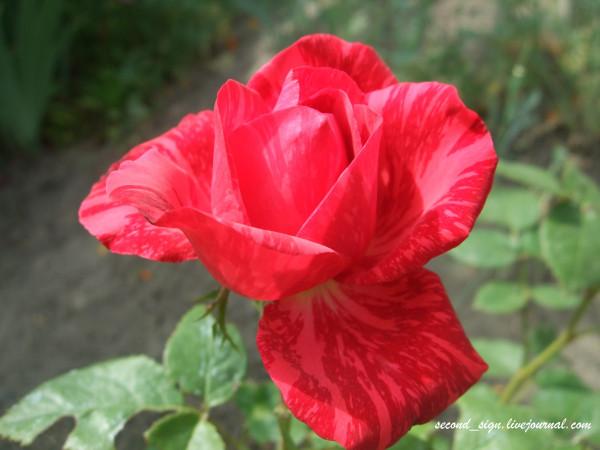 роза тигровая