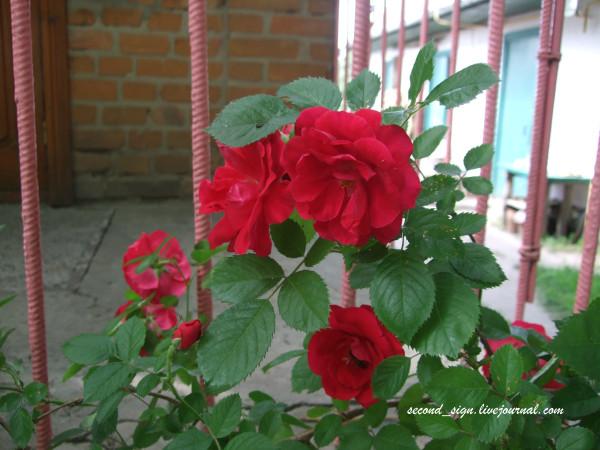 роза семейная