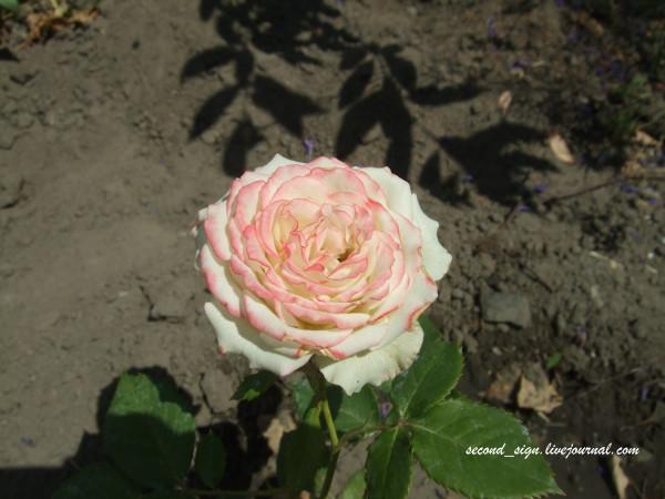 белая роза с красным кантом
