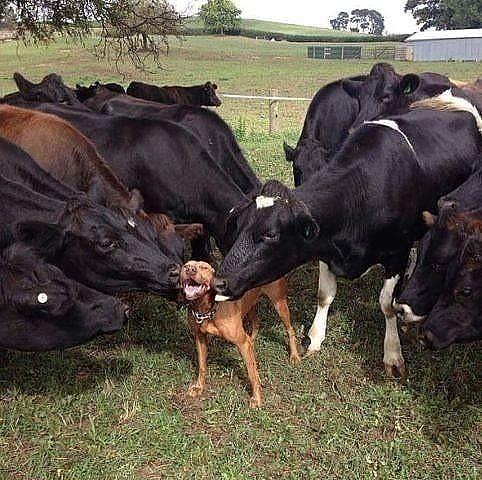 зацелованный пес