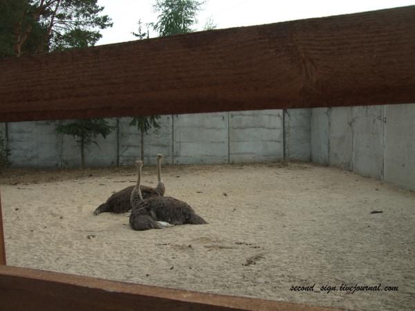 самки страуса