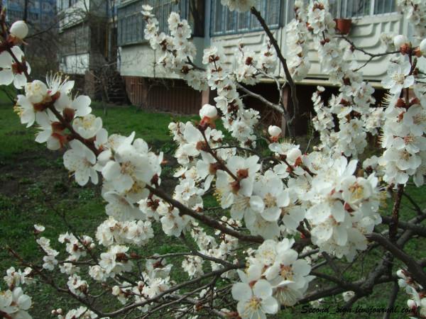 цветение абрикоса