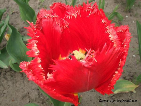 красный голландский махровый тюльпан