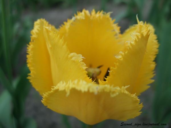 желтый  голландский махровый тюльпан