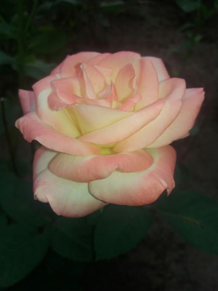 двухцветная роза