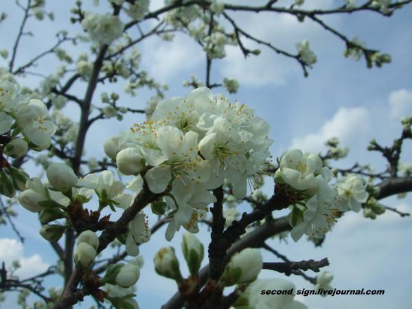 цветение 1