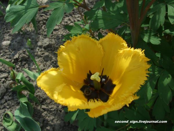 голландский тюльпан желтый