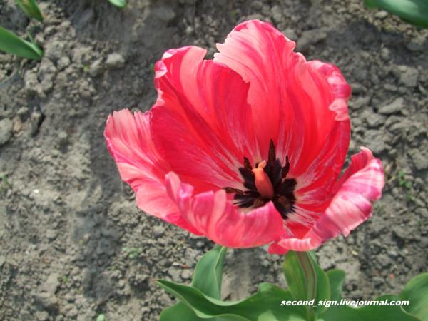 голландский тюльпан розово-лиловый