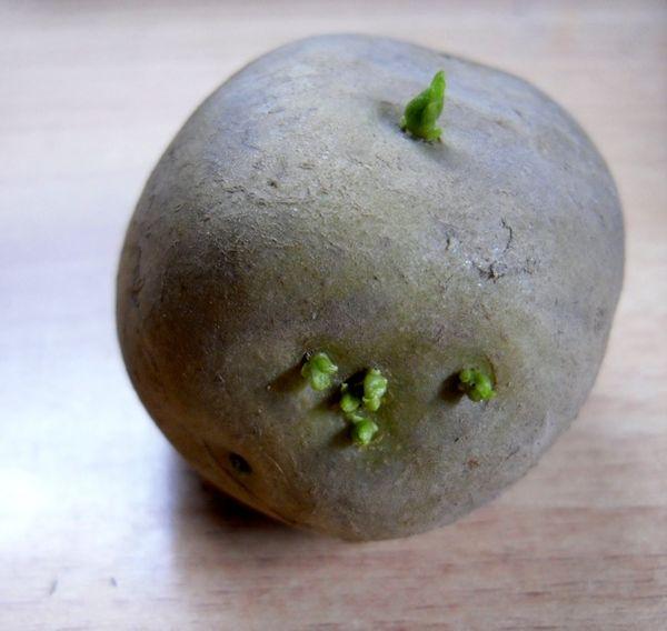 Как сделать настойку из картофельных ростков