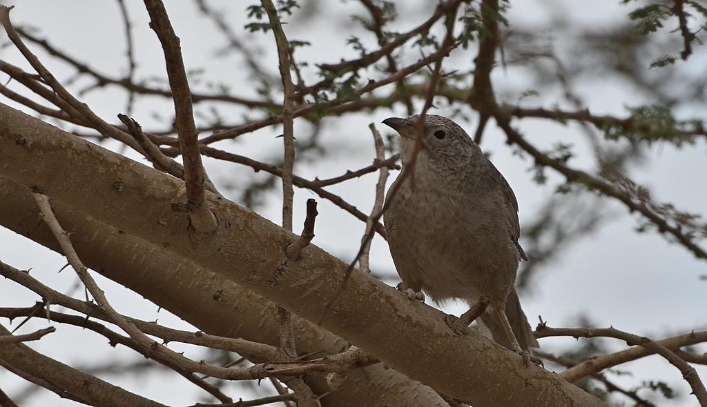 12.11.12 Серый арабский дрозд говорун или Арабская дроздовая тимелия - Turdoides squamiceps 8