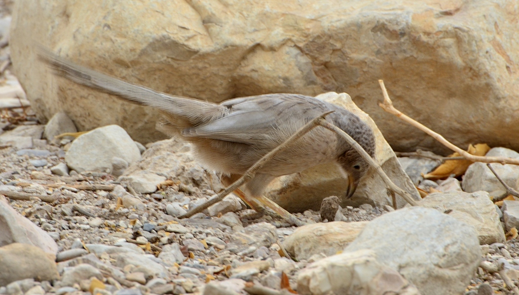 12.11.12 Серый арабский дрозд говорун или Арабская дроздовая тимелия - Turdoides squamiceps 10