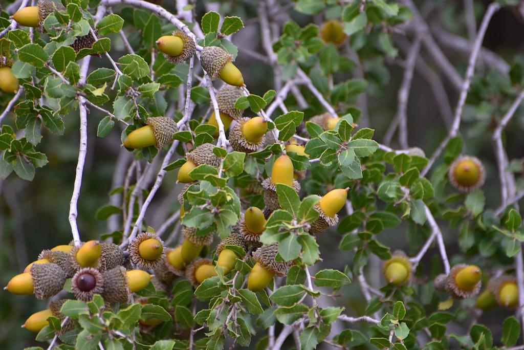 27.11.12 Дуб калепринский (Quercus calliprinos), или палестинский 2