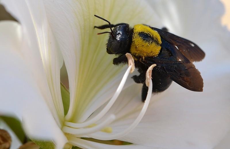 10.04.13 Эта пчелка на цветке баухинии - Пчела-плотник Xylocopa pubescens 2