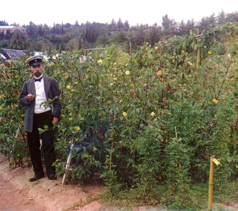 Хлопковое поле. Ботанический сад Сухуми, 1912 год. Фото С. М. Прокудина-Горского.jpg