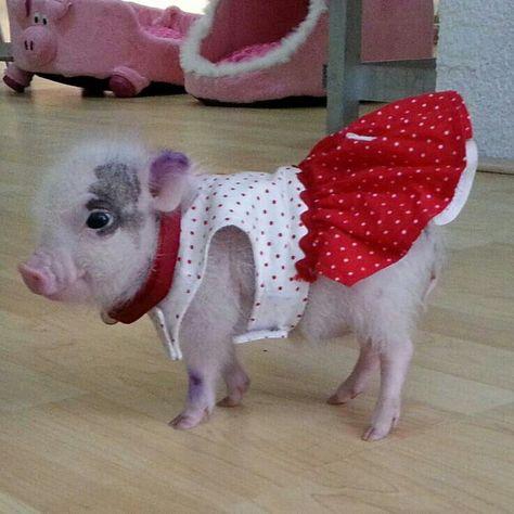 bafdc7da93c72aa8a660e13d3219bd5e--pot-belly-pigs-teacup-pigs.jpg
