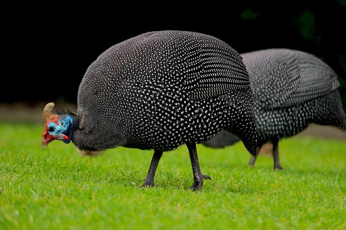 _Guinea-Fowl.png