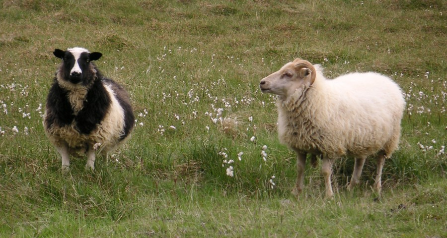 2  Icelandic_sheep2.jpg