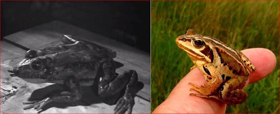 1939  frog Capture.PNG