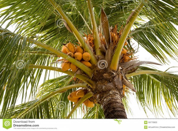 5  coco-palm-tree-yellow-nut-detail-indonesia-bali-59770903.jpg
