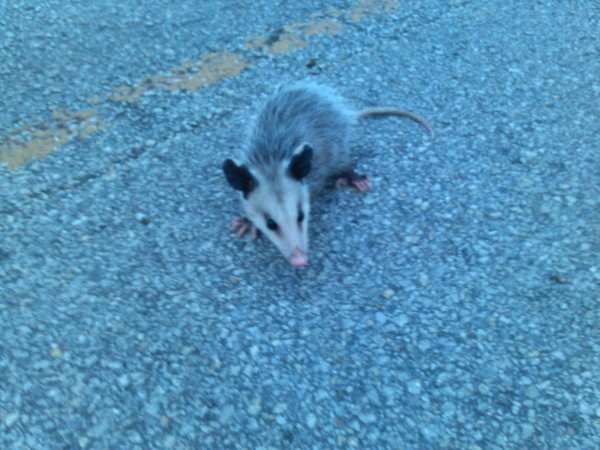 possum baby 3.jpg