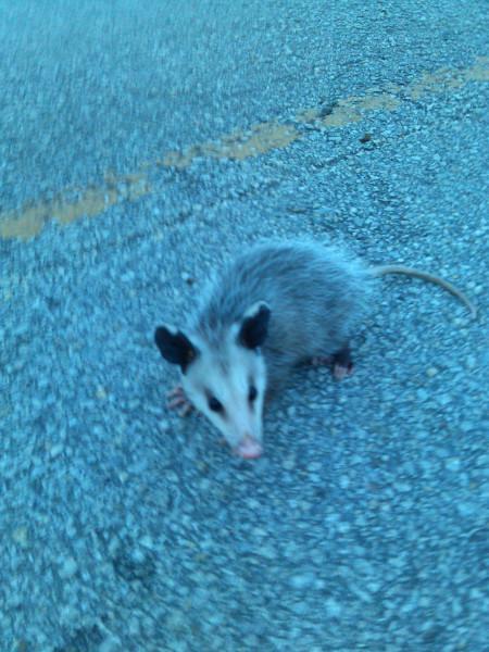 possum baby 2.jpg