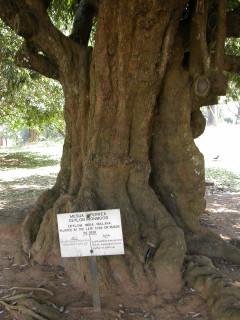 Дерево Царя всея Руси на острове Цейлон