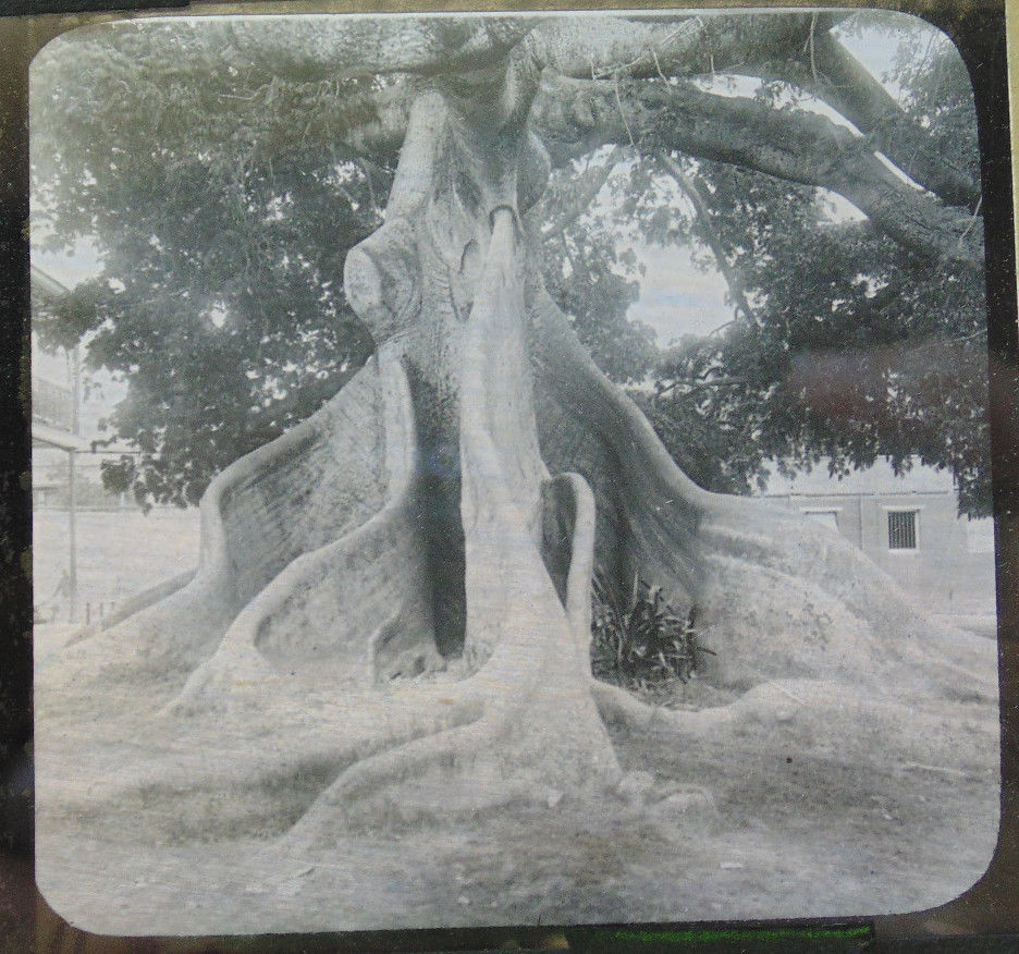 Old photo of strange-looking tree