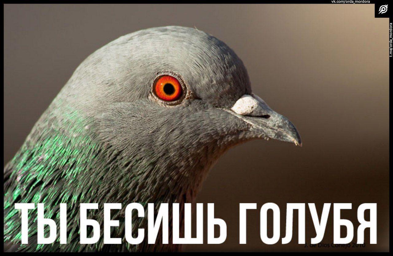 Ты бесишь голубя