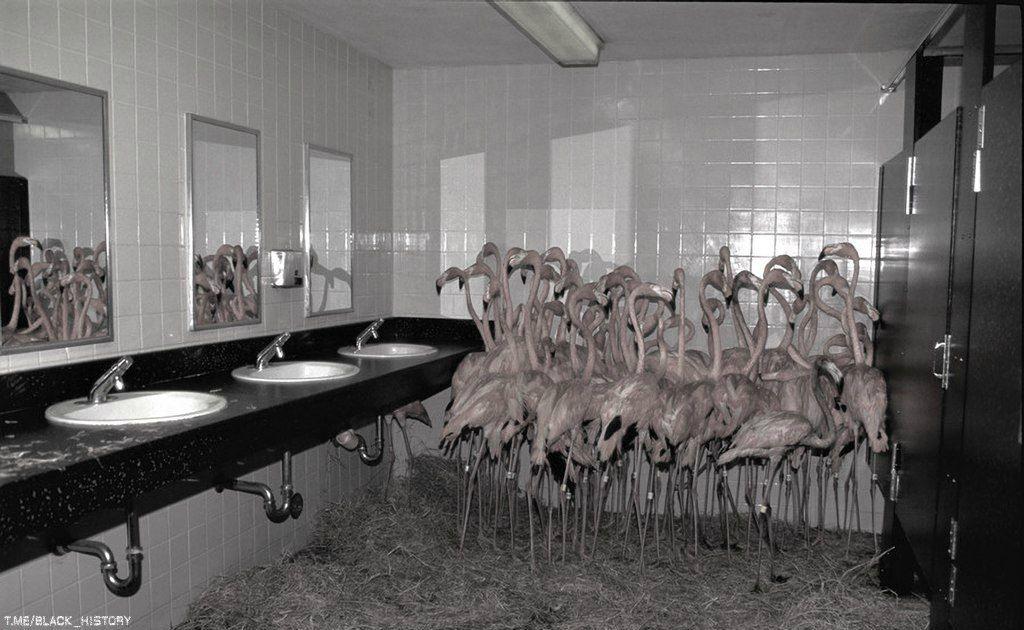 Фламинго сбились в кучу в ванной комнате в зоопарке во время урагана «Эндрю», Майами, август 1992-го года