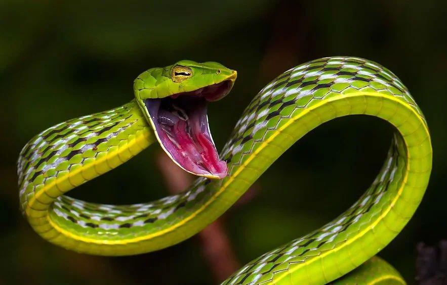 Это плоская змея (плетевидка). Живёт на Юго-Востоке Азии и в Индии.