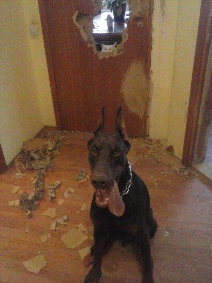 собака разгрызла дверь