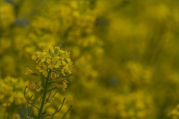 Желтая мгла...