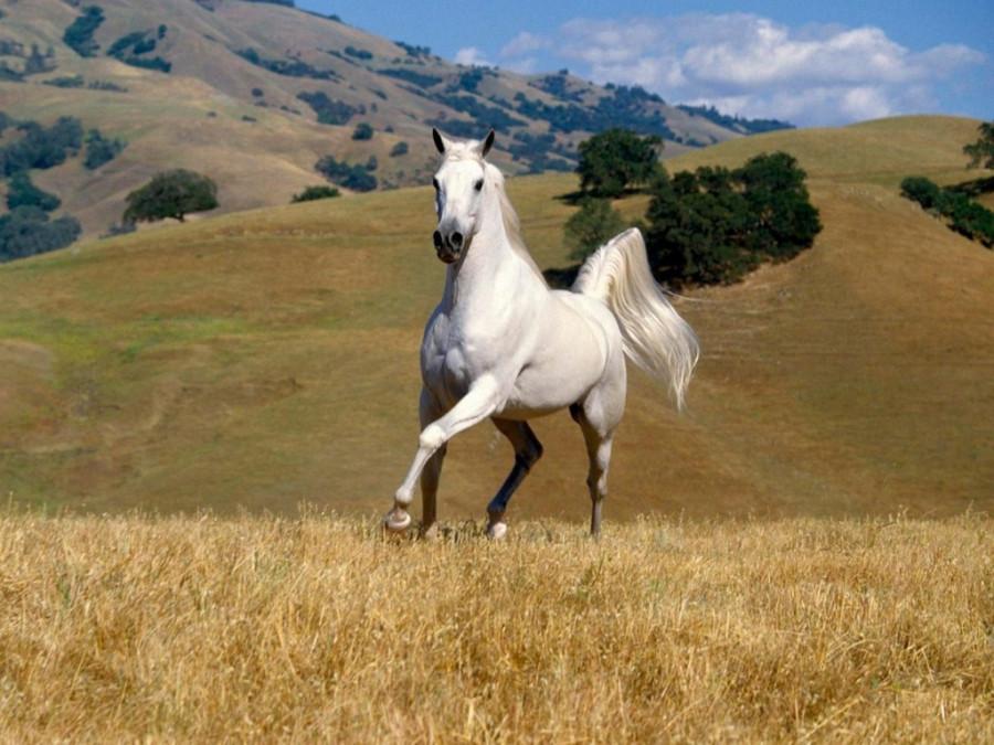 fond-ecran-cheval-blanc