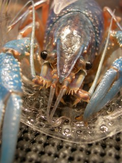 Blue Crawfish