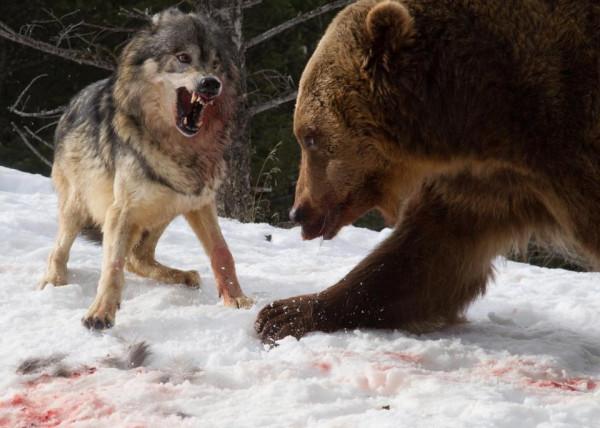 Загнанный в угол хищник ведет себя супер-агрессивно. К вопросу об американской политике