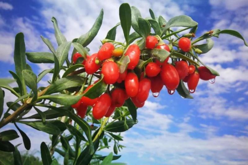 ягоды годжи где язык