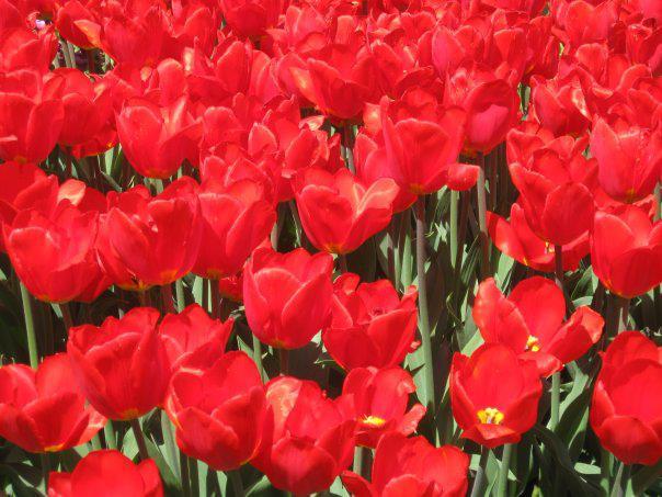 285455_435541633192771_868615711_n тюльпаны
