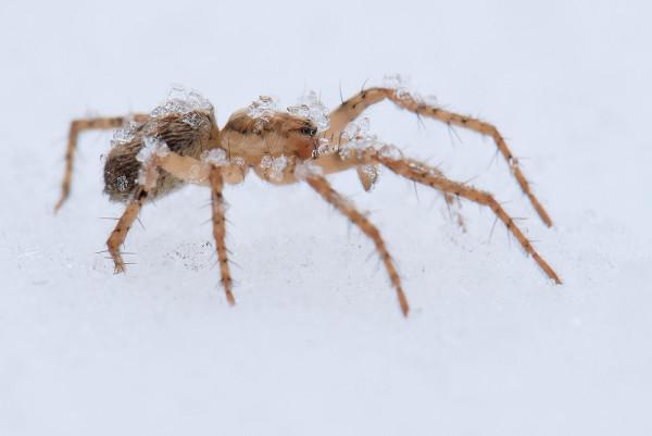Снежные пауки