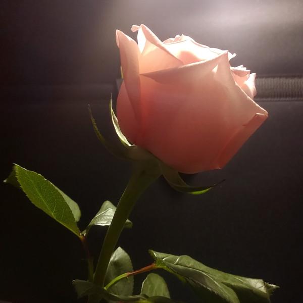 Rose-EW1200.jpg