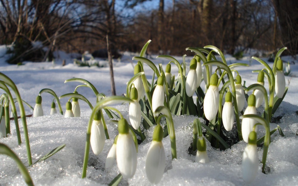 Nature___Flowers_Snowdrops_in_the_wood_036997_