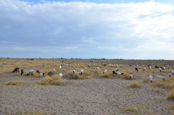 52 козы