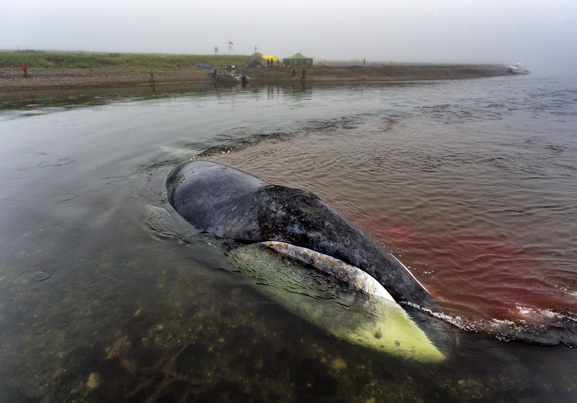 Пытаемся спасти кита, застрявшего на мели