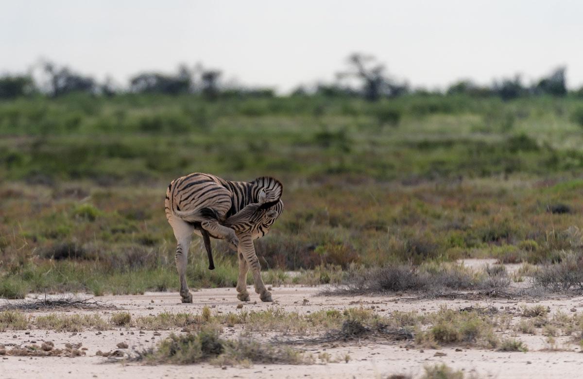 Опрос про зебру. Выберите вариант.