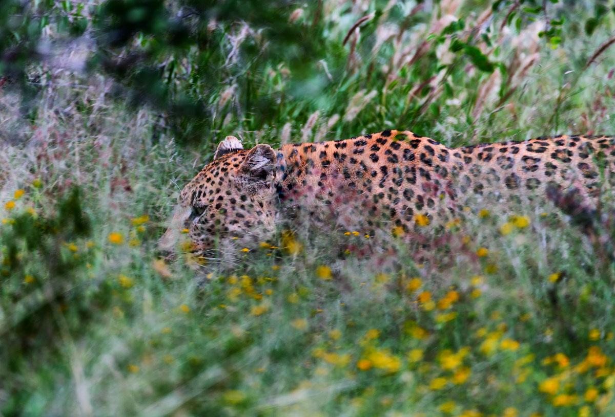 В Африке леопардов ищут с помощью антенн. Почему?
