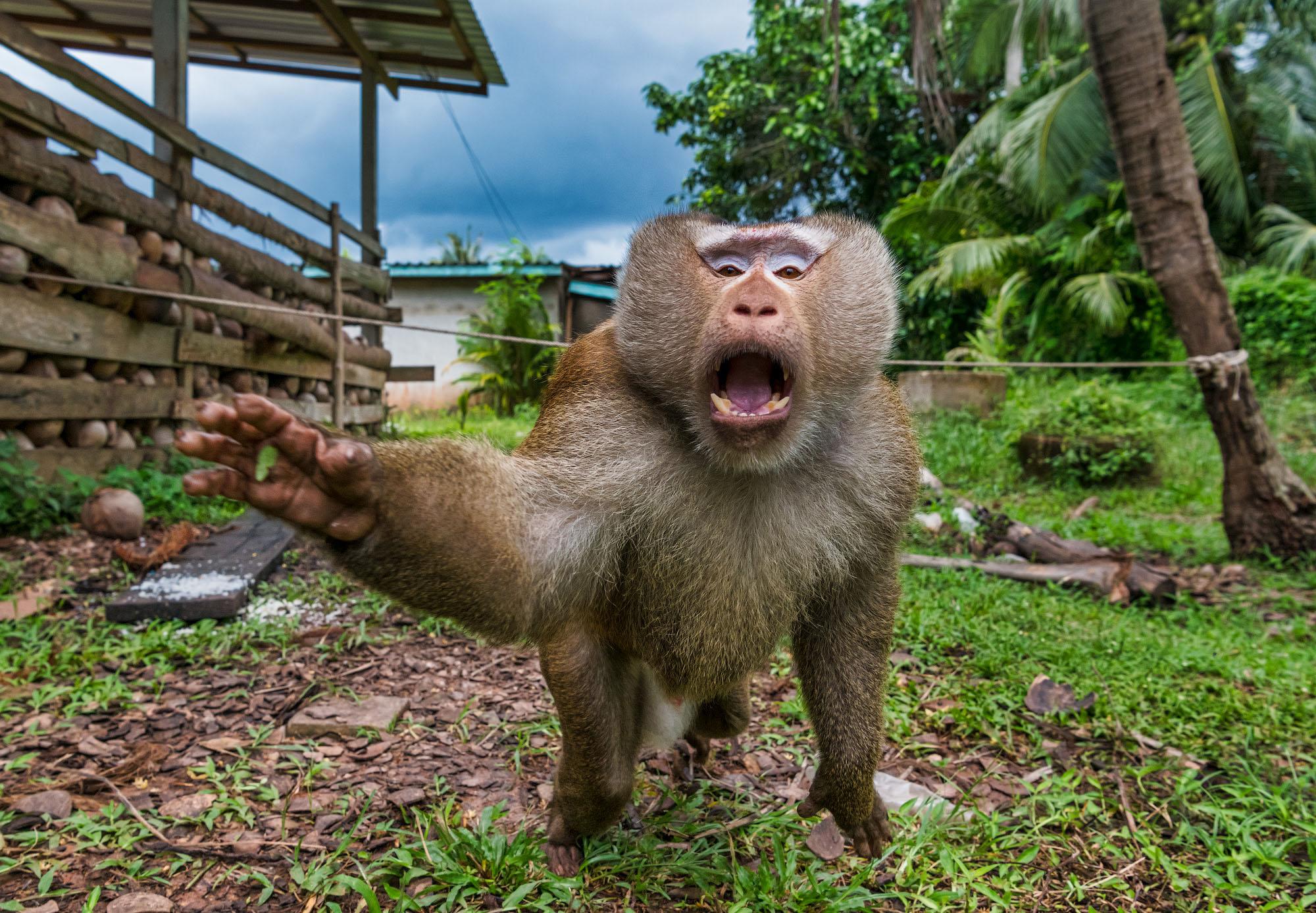 В Таиланде вместо сторожевых собак используют обезьян