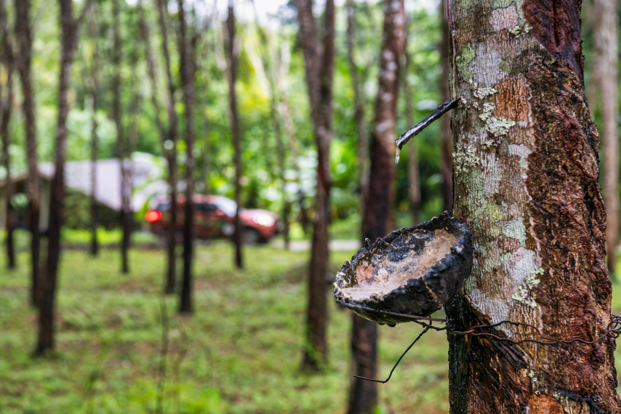 Каучуковый лес очень, Китае, маленькую, цвета, ощупь, резиновый, Хорошо, тянется, приятно, пахнет, Запах, сладковатоприторный, вначале, взяли, катышку, каучук, каучука, через, часов, выкинули