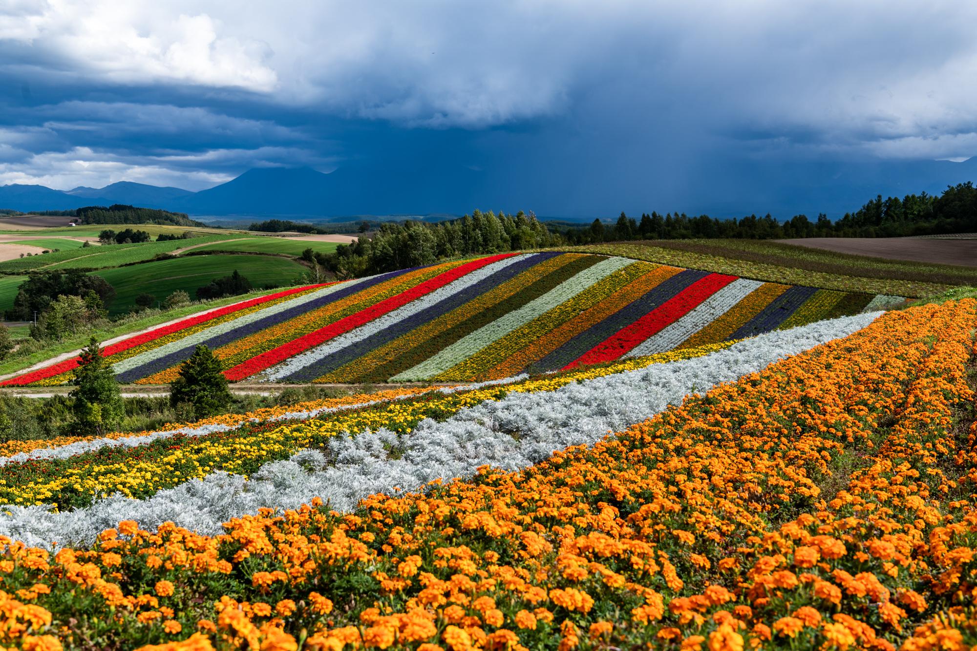 Японская цветочная ферма цветы, Хоккайдо, можно, выращивают, разные, Много, красиво, цветет, сейчас, лаванды, времени, зависимости, этого, Кроме, автобусами, большой, сувенирный, естественно, продают, магазин